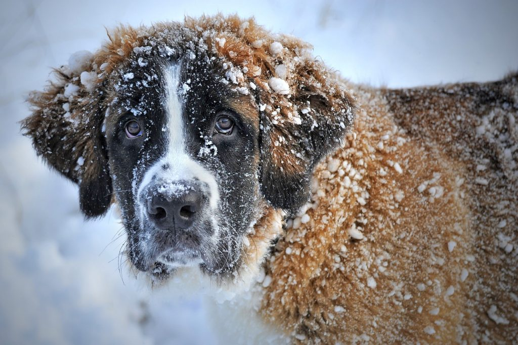 Chien Saint Bernard dans la neige